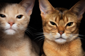 Jazz and Zulu - Abyssinian kittens