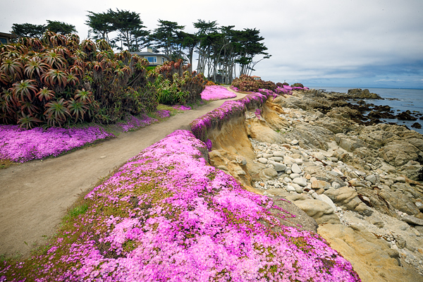 The ice plants are in full bloom along the Pacific Grove coastline
